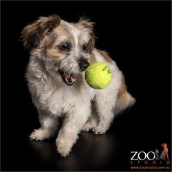 maltese shih tzu catching tennis ball