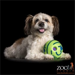 happy smile from malteze shih tzu