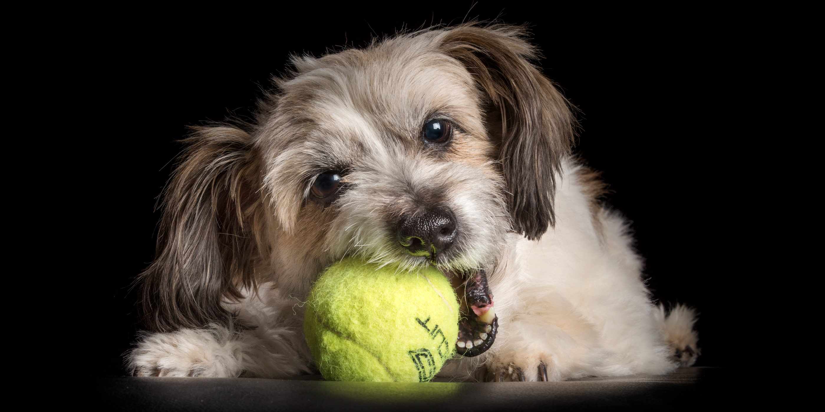 caramel and white maltese shih tzu chewing tennis ball