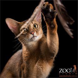 playful abyssinian kitten