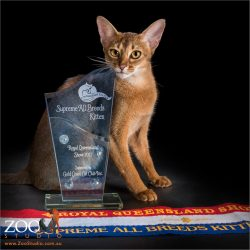 supreme all breeds kitten royal queensland show anyssinian