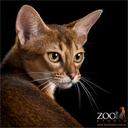 over the shoulder look from abyssinian kitten