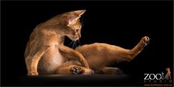 laid back abyssinian kitty
