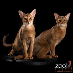 abyssinian kitten with her mum