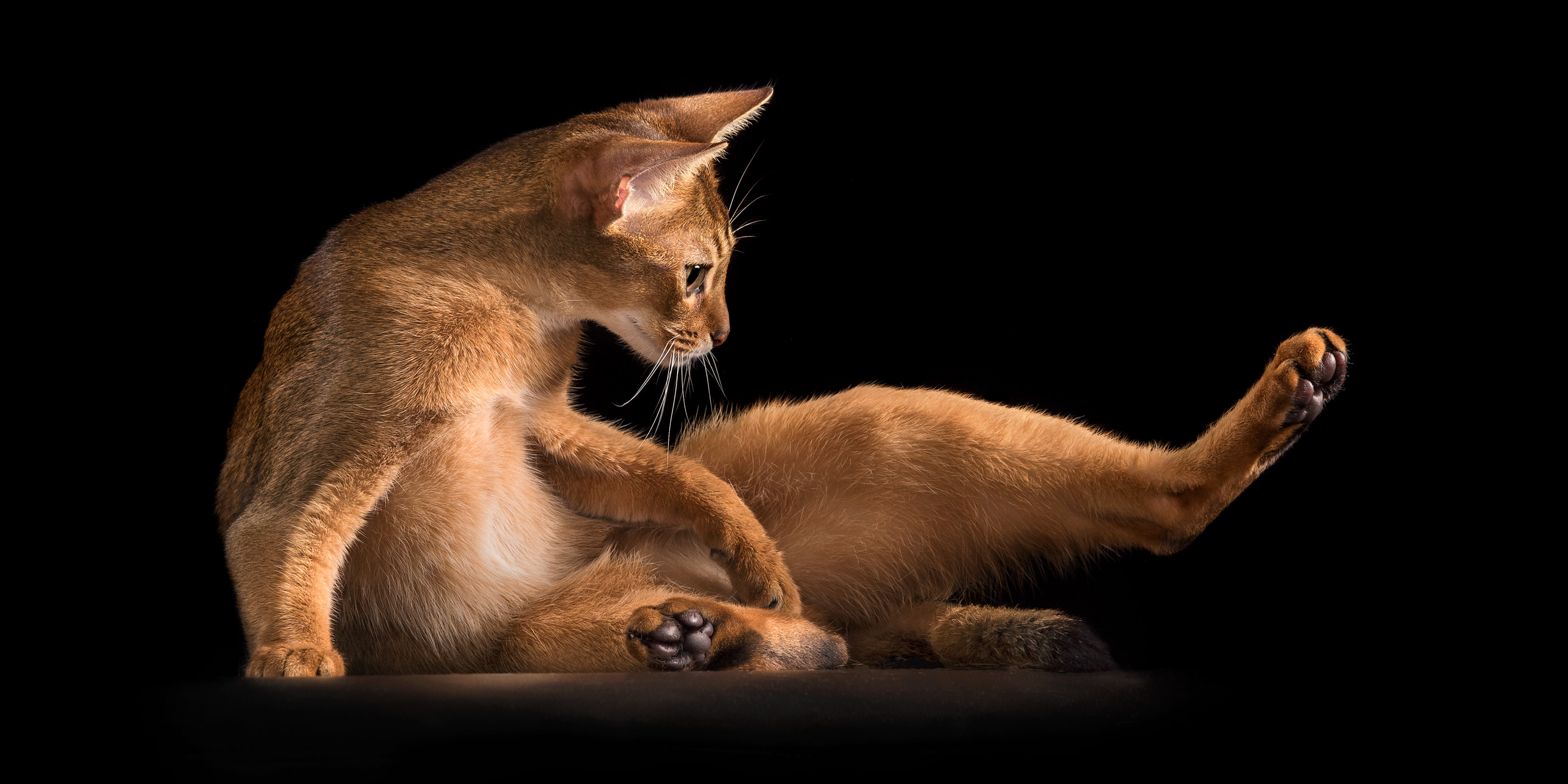 abyssinian kitten doing stretches