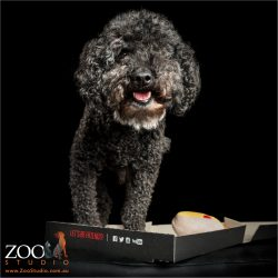 black miniature toy poodle in pizza box