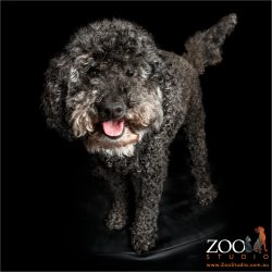 smiling sauntering black miniature toy poodle