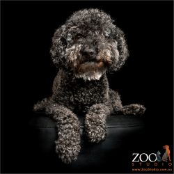 regal pose from black miniature toy poodle