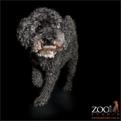 jaunty swagger from black male miniature poodle