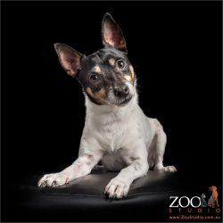 quizzical looking tenterfield terrier