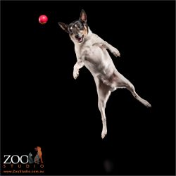 air leaping tenterfield terrier about to catch red ball