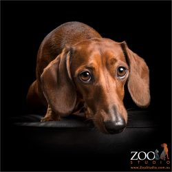 tan dachshund nose resting on ottoman