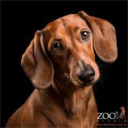 head tilting tan girl dachshund