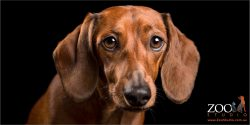 full face shot tan dachshund