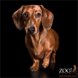 short legged tan dachshund girl