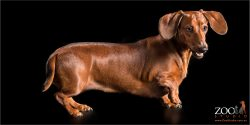 shiny coat in profile tan dachshund