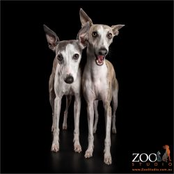 whippet siblings standing close together