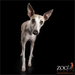 intense looking whippet