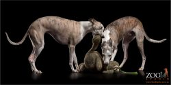 whippets playing with large stuffed toy