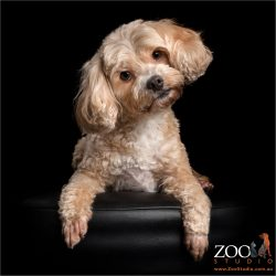 blonde head tilting cavoodle