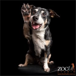 hi-fiving australian cattle dog cross