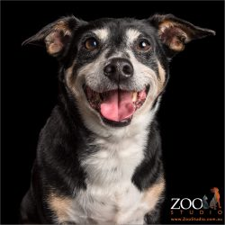 ear to ear smiling cattle dog cross