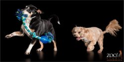 playing chasey cattle dog cross and blonde cavoodle