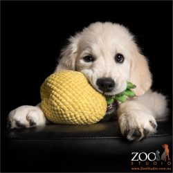 golden retriever puppy chewing on pineapple toy