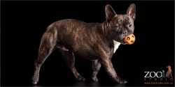 french bulldog strutting with orange ball in mouth