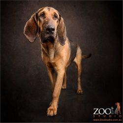 regal looking bloodhound girl