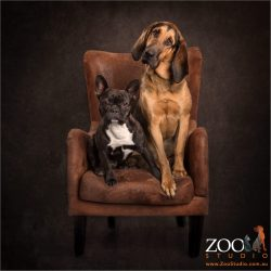 odd couple french bulldog and bloodhound sitting in chair together