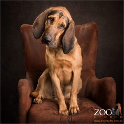 bloodhound black and tan sitting in easy chair