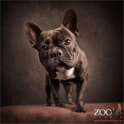 inquisitive brindle french bulldog