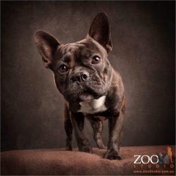 inquisitive brindle french bulldog