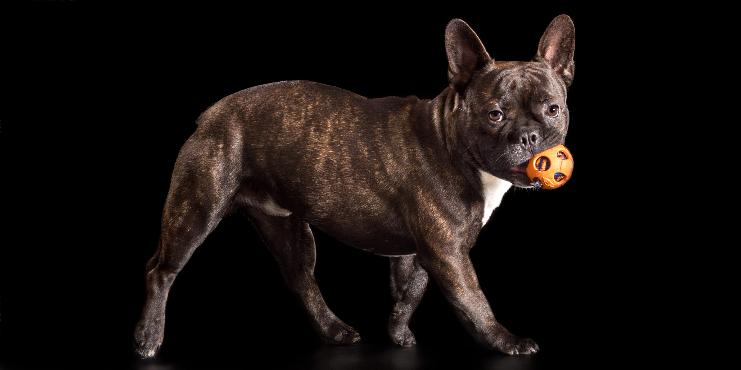 side profile brindle frenchy with orange ball
