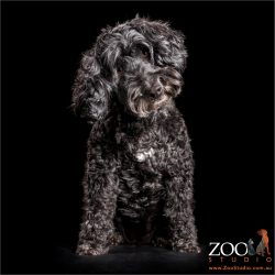 head tilting black poodle with white chest marking