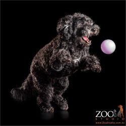 black poodle leaping after pink ball