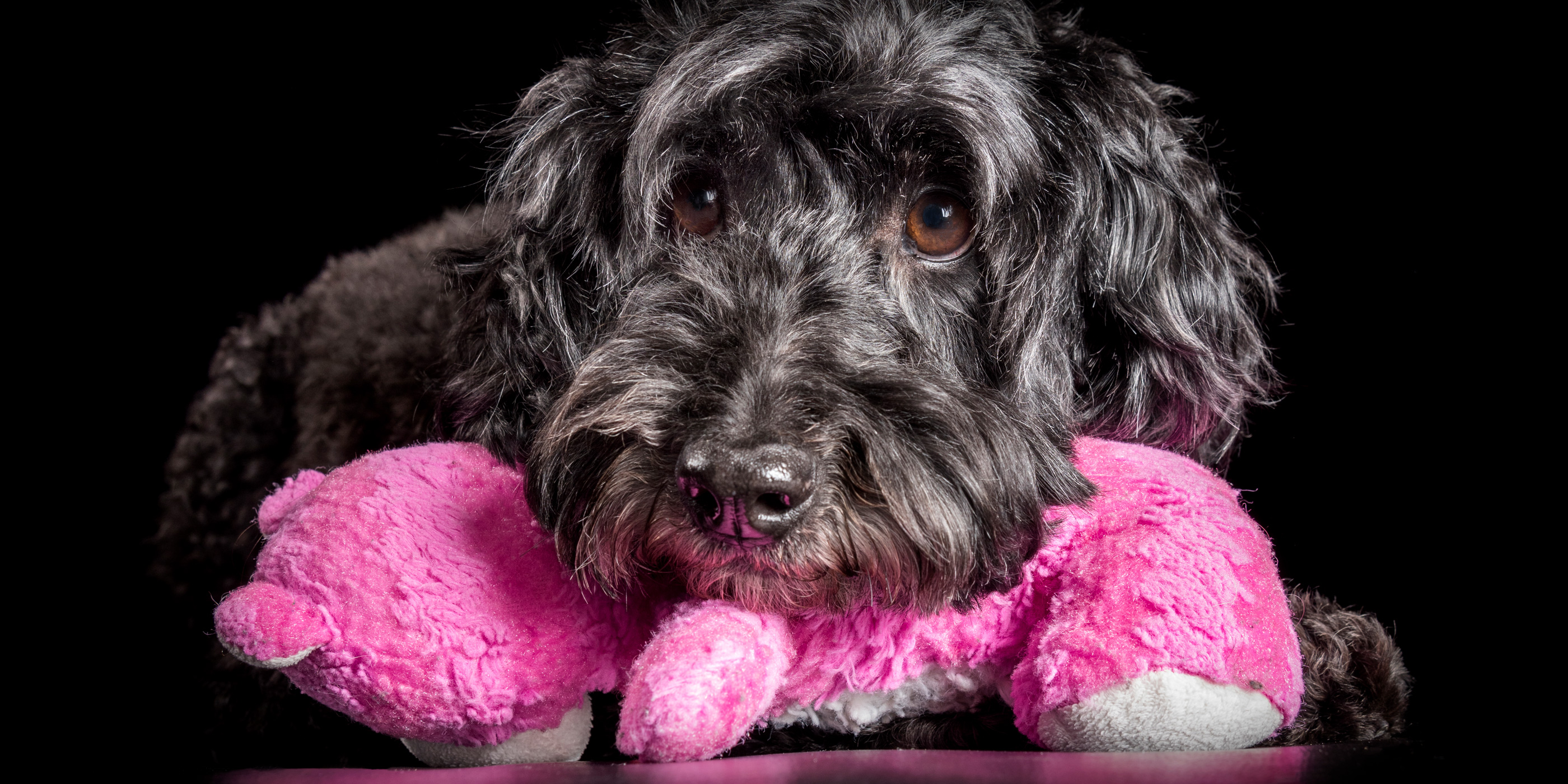 sweet faced black poodle resting head on pink stuffed toy