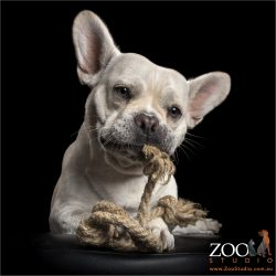 rope chewing french bulldog staffy cross