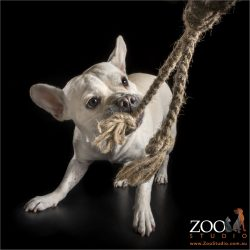 french bulldog staffy cross playing tug-o-war