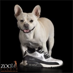cream french bulldog cross with favourite shoe