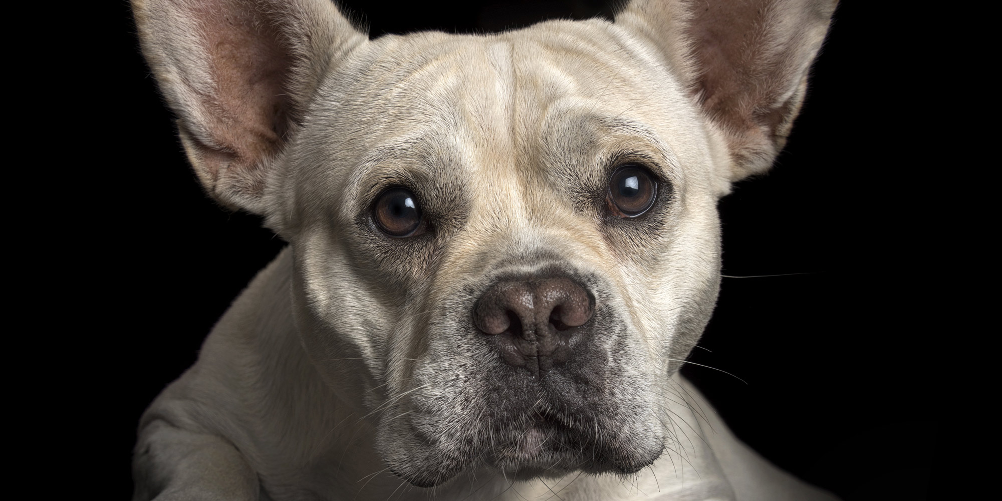 sweet faced french bulldog cross