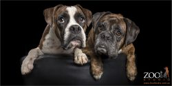 pair of boxer brothers sitting close