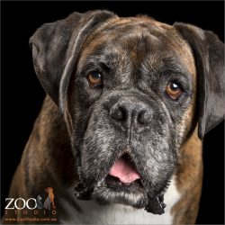 brindle boxer about to speak