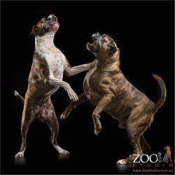 boxers dancing on hind legs