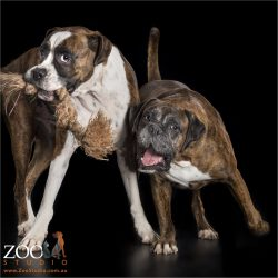 two boxers playing with tug rope