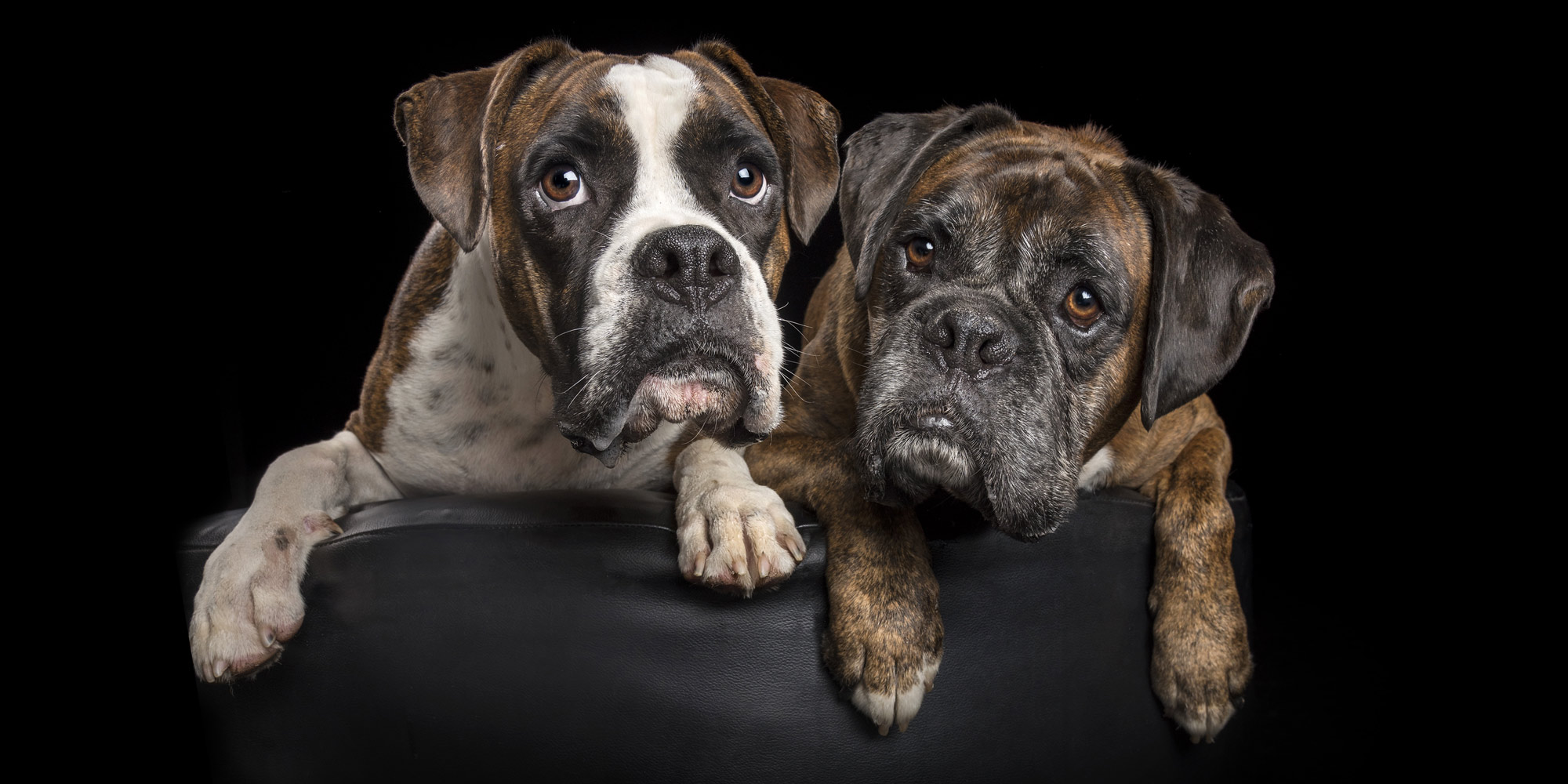 sweet pair of boxer dogs snuggling together