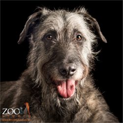 smiling head shot of irish wolfhound