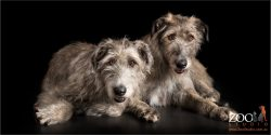 pair of irish wolfhound fur-siblings