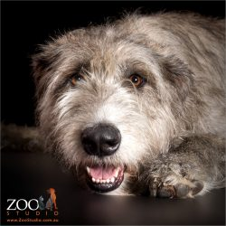 toothy smile from irish wolfhound